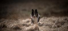 Molinia Bouncing (JJFET) Tags: border collie dog sheepdog herding