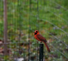 Mr. Cardinal-HBW! (☂Rainy Day☂) Tags: bokehwednesdays bokehwednesdaytoo cardinal fence inthebackyard
