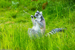 Lemur catta (stephaniemasson) Tags: animal lémur zoodegranby zoo lemur madagascar afrique africa lemurien animals wild wildlife nature savane savanna mammal mammifère grass forest primate ringtailed nationalpark reserve portrait closeup captive fur monkey outdoors