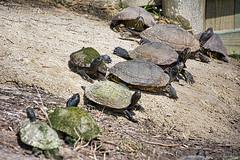 A Literal Herd of Turtles (KWPashuk) Tags: nikon d7200 tamron tamron18400mm lightroom luminar luminar2018 kwpashuk kevinpashuk turtle reptile herd sunning shore wildlife nature outdoors hilton head sc south carolina