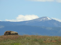 Bison laying down (tbirdshockeyfan) Tags: nationalbisonrange montana buffalo bison tatanka