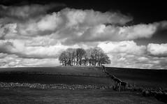 Trees (l4ts) Tags: landscape derbyshire peakdistrict whitepeak taddington trees tumulus drystonewalls cloudscape clouds blackwhite monochrome