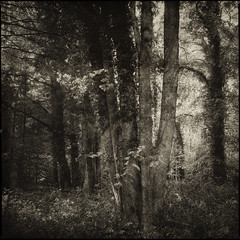 Woodland (Jo ~) Tags: trees woods woodland square sepia monochrome elveden forest suffolk