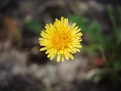 dandelion (Joerg Esper) Tags: plaidt rheinlandpfalz deutschland de blüte blüten blossom blossoms bokeh flower flowers dandelion löwenzahn olympus olympusomdem10markii panasoniclumixg25mmf17asph