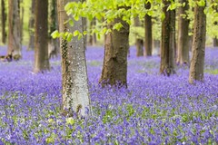 Angmering Park Bluebells - Sussex (E_W_Photo) Tags: angmeringpark wephamwoods bluebells sussex canon 80d 70200mmf4lis