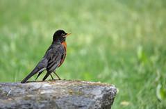 Robin on the rock (Millie Cruz) Tags: robin bird rock grass red green spring nature outdoors animalplanet redbreast wildlife canoneos5dmarkiii tamronsp150600mm