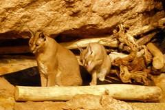 Brookfield Zoo (Tiger_Jack) Tags: bigcat bigcats flickrbigcats