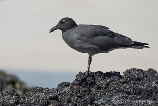 The Rarest Gull in the World: The Lava Gull