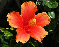 Orange Hibiscus! ('cosmicgirl1960' NEW CANON CAMERA) Tags: flowers worldflowers parks gardens marbella spain espana andalusia costadelsol tropical exotic nature green yabbadabbadoo travel holidays