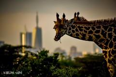 Giraffe and the city (khelan919) Tags: africansky animal wildlife wildlifephotography animalplanet africa kenya nairobinationalpark city giraffe