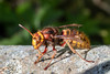 Hornet queens 3 of 3 (Steve Balcombe) Tags: insect wasp hornet hymenoptera vespidae vespa crabro woodland somerset uk