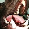 IMG_20170626_172249 (mawshotmaster) Tags: dog yawn dogyawn mouth tongue mawshot maw lips lip teeth tooth slobber saliva drool yaws mammal gaping openwide wide vore gapingmaw macro micro pov closeup yawning maul zunge gähnt hund sabber speichel nose mouthopen panting tired gapingmaws canine caninemouth dogmouthinside droolingdog dogtongue dogyawning bigmouth hundsabbert wolf drooly droolstrings mawshotmaster drooling