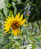 Sunflower, Chia flowers + bees (idunbarreid) Tags: sunflower chiaplant bees
