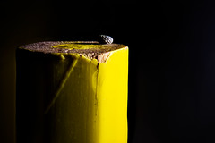 Watchtower... (Altazur) Tags: macromondays lowkey closeup sidelit stacking yellow poppyseed abstract abstractmacro