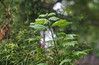 DSC08069 (Old Lenses New Camera) Tags: sony a7r graflex graftar wollensak 103mm f45 plants garden trioptar tree branches leaves mapleleaf