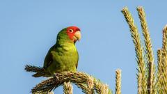Red-masked Parakeet (Bob Gunderson) Tags: aratingacrythogenys birds california fortmason northerncalifornia pigeonsdovesparrots redmaskedparakeet sanfrancisco coth coth5
