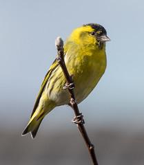 Erlenzeisig   IMG_175542862018 (inklhe) Tags: 2018 erlenzeisig tiere vogel