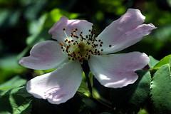 Taking the bellows outside (mkk707) Tags: canoneos600d leicabellowsr leica100mmf4macroelmarr macro bokeh flower rose