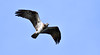 DSC_8913_00001 (Karantez vro) Tags: osprey bird prey flight scotland ecosse schottland scottish highlands