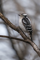 Pic mineur - Downy Woodpecker - Picoides pubescens (Suzanne Houle) Tags: picmineur downywoodpecker