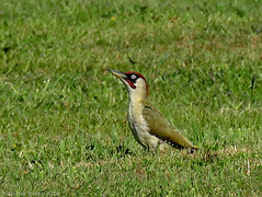 Pic vert (Picus viridis) ♂ (zogt2000 (No Video)) Tags: picvert picusviridis male oiseau bird
