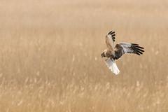 Marsh Harrier -1951 (WendyCoops224) Tags: 100400mml 80d suffolk birds canon eos wildlife ©wendycooper marsh harrier explore