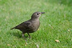 juvenile starling (sure2talk) Tags: starling juveniles blackbird nikond7000 nikkor70300mmf4556afsifedvr