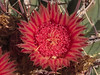Texas rainbow cactus in the Cactus & Succulent Gardens, Tucson Botanical Gardens (Distraction Limited) Tags: tucsonbotanicalgardens tucsonbotanical botanicalgardens gardens tucson arizona tbg20180514 echinocereusdasyacanthus texasrainbowcactus texasrainbow spinyhedgehogcactus echinocereus hedgehogcactus rainbowcactus cactus flowers cactusandsucculentgarden cactussucculentgarden