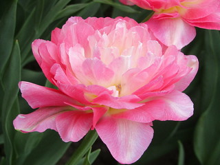 It's a splendid tulip, isn't it?