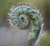 furry curlicue (marianna_a.) Tags: fern frond curl spiral nautilus layers composite psd hss mariannaarmata macro plant spring goldenratio