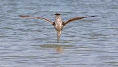 Diving Gull (Steve (Hooky) Waddingham) Tags: bird british wild wildlife sea countryside coast nature rutland photography