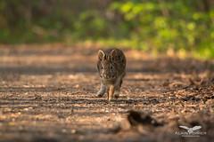 Lapin a queue blanche (alainpoirier48) Tags: lapinàqueueblanche cotton tail tailed rabbit cottontailedrabbit