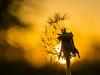 Pusteblume im Abendlicht / Dandelion in the evening light (jörg opfermann) Tags: sony ilce 7m2 fe90mmf28 pusteblume dandelion gegenlicht stimmung mood sonnenuntergang sundown bokeh makro