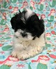 Shihpoo (male) (PetopiaVa) Tags: puppies new