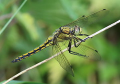 Black-tailed Skimmer (Lutra56) Tags: blacktailedskimmer odonata orthetrumcancellatum dragonfly dragonflies nature chainbridgenaturereserve nottinghamshire