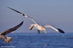 Sula _012 (Rolando CRINITI) Tags: sula uccelli uccello birds ornitologia costaltrip toscana natura evolution livorno
