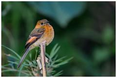 Pyrrhomyias cinnamomeus - Atrapamoscas canela (fjgamarrafoto) Tags: franciscogamarra fjgamarrafoto nikon d800 nature telephoto colombia color aves bird