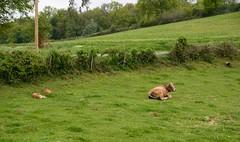 Veaux et vache aubrac (Cletus Awreetus) Tags: france rhône montsdulyonnais hauterivoire agriculture élevage bovin vache veau aubrac animal bétail pâturage animaldomestique haie