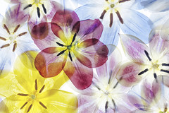 Tulips (Mandy Disher) Tags: pressed tulips spring flowers floral pattern