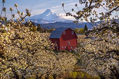 Springtime in Hood River (Cole Chase Photography) Tags: hoodriver mounthood spring orchard bloom blossoms sunset