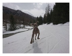 Album Chiens Clients Janvier-Avril 2018 (28) (Dalmatien-Golden-Braque) Tags: dalmatien goldenretriever braquedeweimar chien carcassonne elevage eleveur animaux dog breader