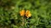 Yellow & Green (Eddy Summers) Tags: breenhold breenholdgardens autumn bluemountains pentax pentaxk1 k1captures vibrant colourful australia nsw petals flower flowers