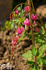 Bleeding Heart Flowers (SLHPhotography1990) Tags: garden photos spring colour isleofwight england sun sunshine heatwave flowers plants love dicentra spectabilis lamprocapnos bleeding heart