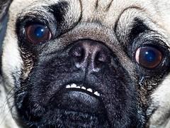 2018.04.08-16.28.40 (Pak T) Tags: vivitar2xmacrofocusingteleconverter zuiko dog pug penelope face legacylens omzuiko100mmf28