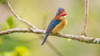 橫斑翡翠 Banded Kingfisher male (MB01) 婆羅洲鑲邊翠鳥AI4P1189