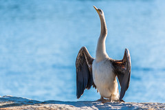 Australasian Darter (Merrillie) Tags: nsw waterbirds australia wildlife birds woywoy nature bird australasiandarter darter animals fauna centralcoast newsouthwales animal
