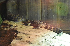 Alligator and Turtle (Adventurer Dustin Holmes) Tags: 2018 wondersofwildlife animals chordata animalia alligator turtle exhibit reptiles reptilian gator