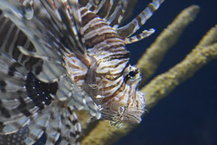 Pterois / Lion Fish (Adventurer Dustin Holmes) Tags: 2018 wondersofwildlife pterois animalia chordata lionfish aquatic fish saltwater aquarium