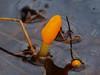 Bog Beacon (Mitrula paludosa) (Colin Pinchen) Tags: bogbeacon mitrulapaludosa dorset england fungi fungus mushroom toadstool earthtongue colin pinchen