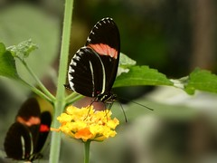 Heliconius sp. (Linda DV) Tags: lindadevolder lumix panasonic dcfz83 geotagged geomapped tenerife 2018 spain islascanarias canaryislands europe icoddelosvinos mariposariodeldrago butterflygarden ribbet